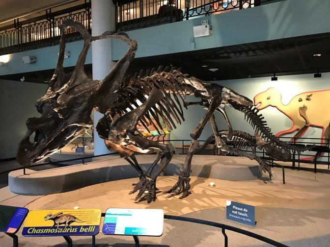 Chasmosaurus belli.