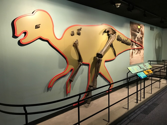 Display of Hadrosaurus bones.