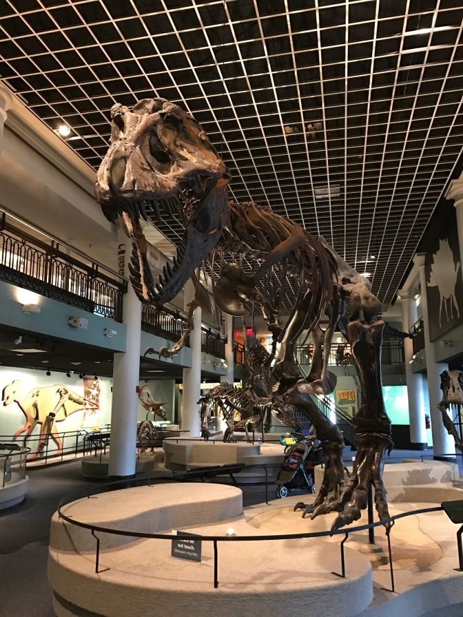 Fossil of Tyrannosaurus Rex.