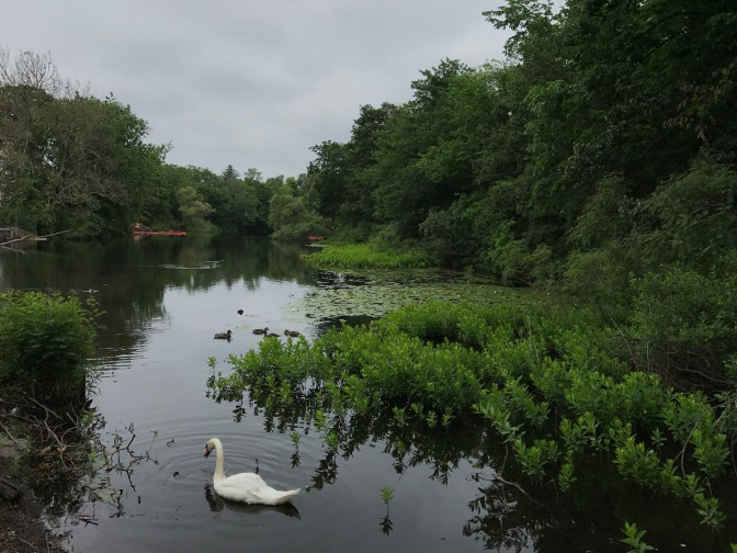 View of the Charles River. A swan is in the foreground.