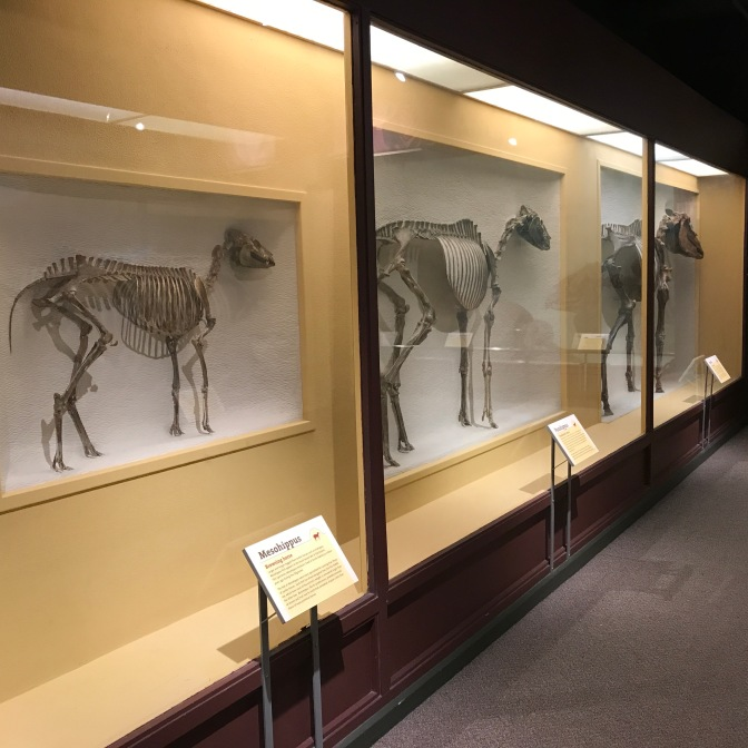 Exhibit on the evolution of horses.