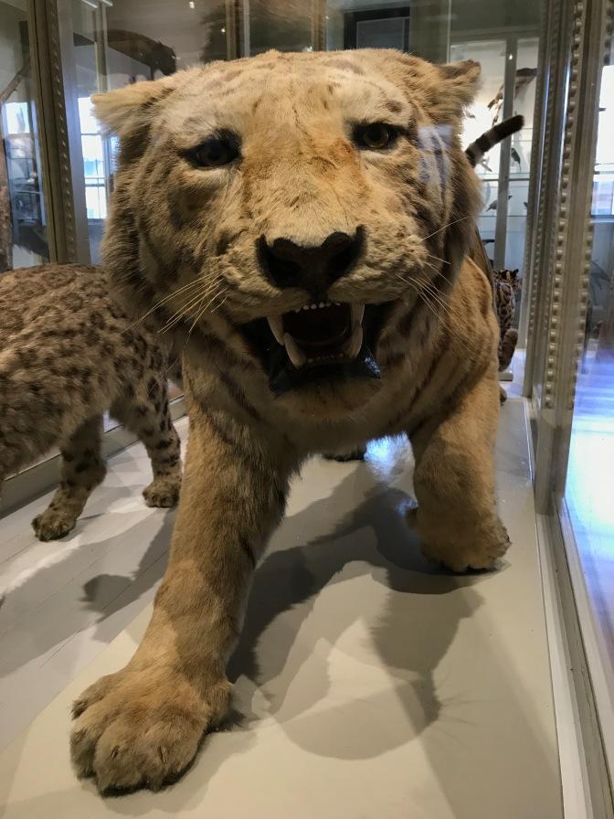 Stuffed Siberian Tiger on display.