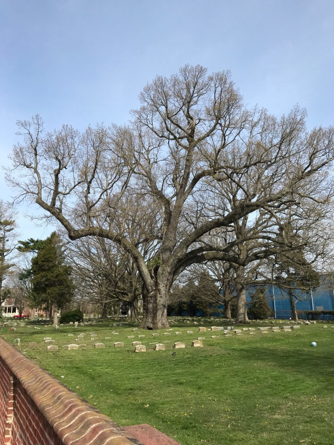 Salem Oak tree, in the Salem Friends Burial Ground.
