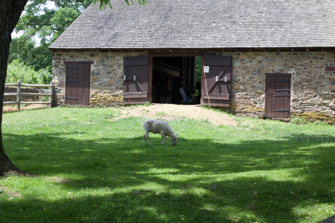 Sheep grazing in front of barn at Thompson-Neely House.