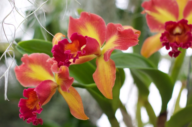 Orange and red orchid.