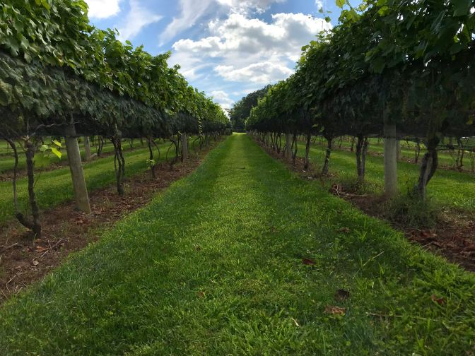 View down a row of grape vines.