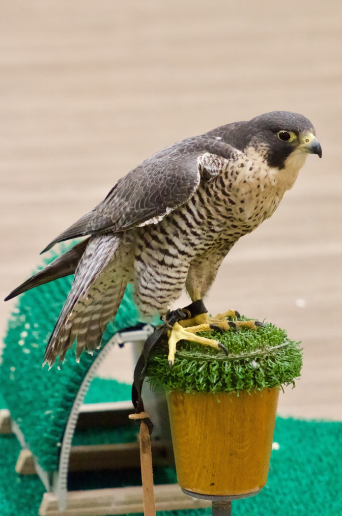 Another view of Talon the peregrine falcon on its perch.