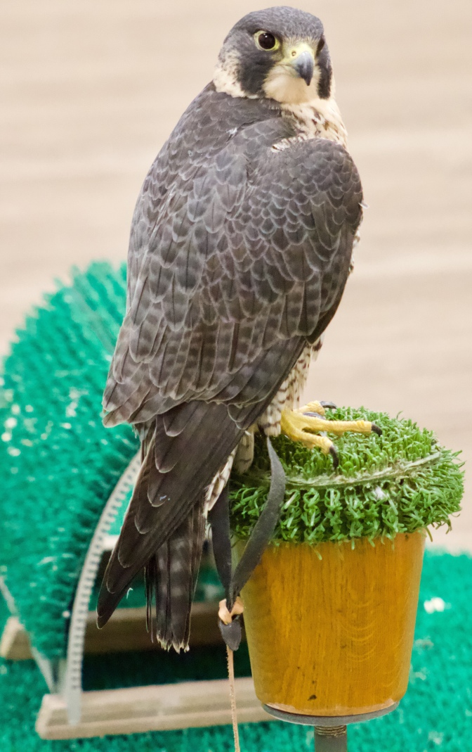 Another view of Talon the peregrine falcon, on a perch.