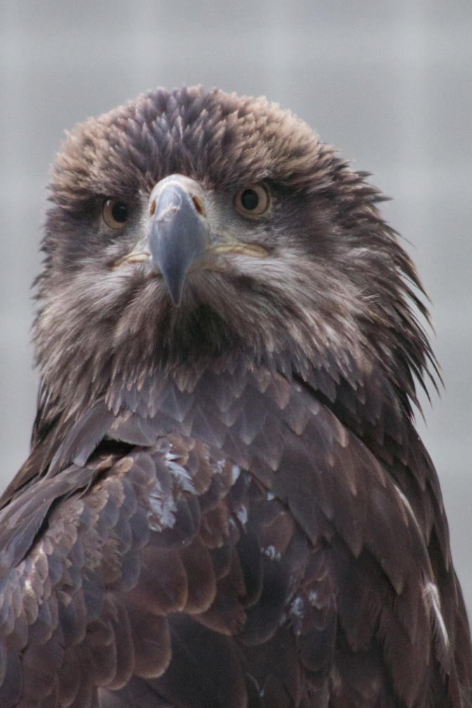 Head and body of immature bald eagle.