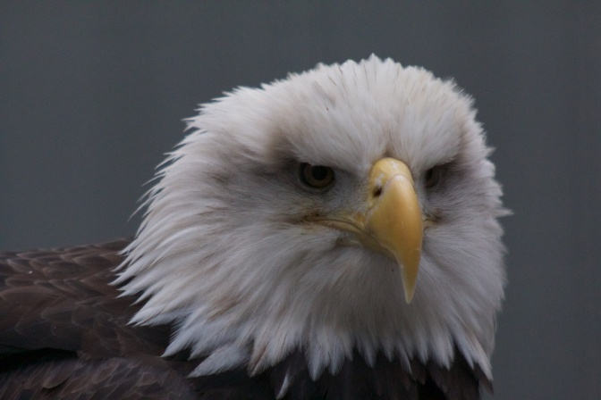Mature bald eagle, close-up of head.
