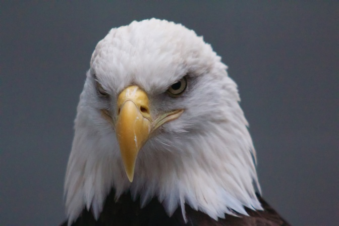 Head portrait of bald eagle.