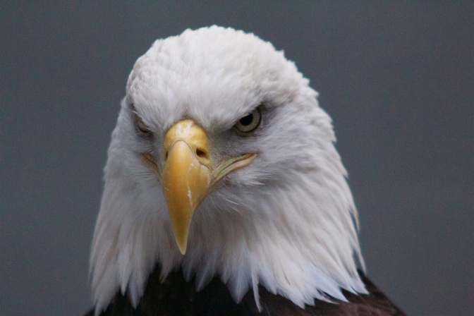Close-up portrait of a head of an eagle.