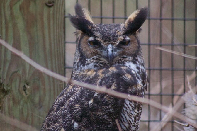 Portrait of Great Horned Owl.