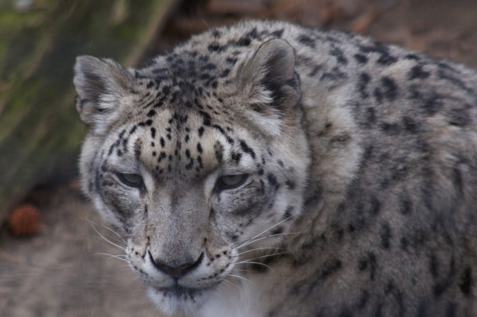 View of head of snow leopard.