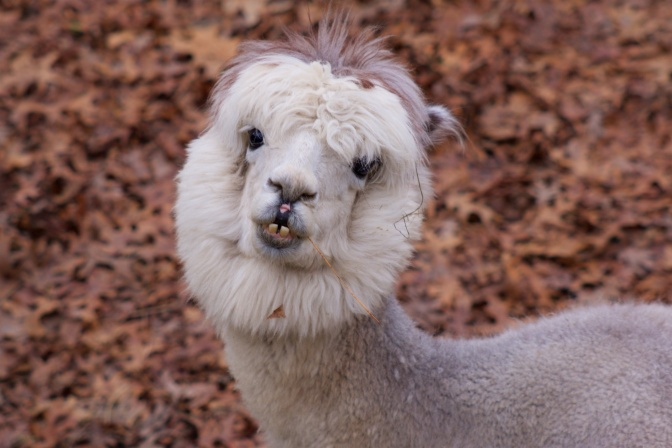 Photograph of llama staring up at camera.