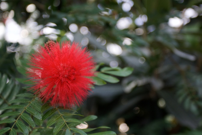Red powderpuff blossom on a tree branch.