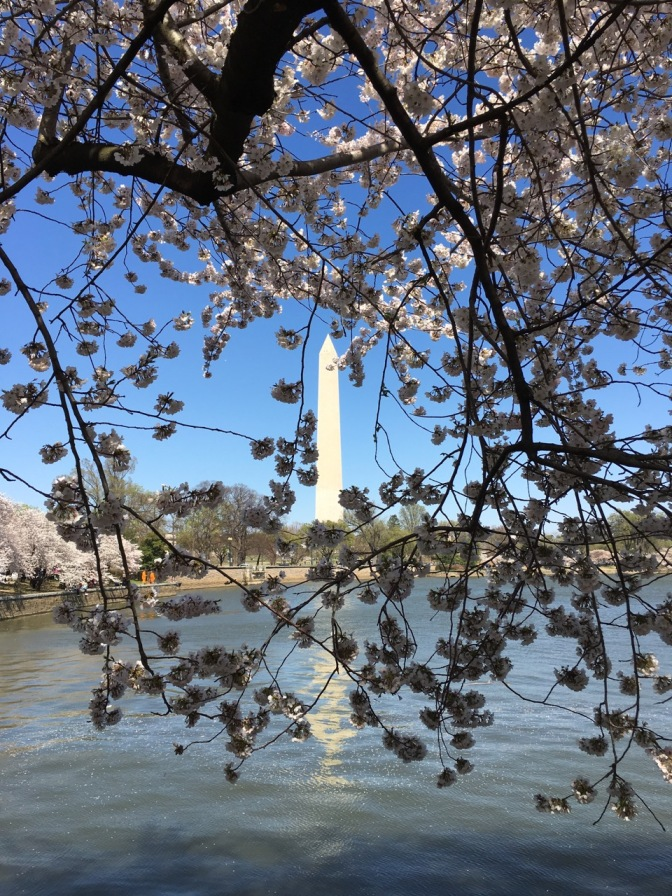 Cherry Blossoms in foreground and Washington Monument in background.