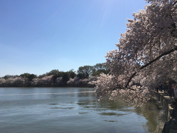 Cherry Blossoms along the banks of the Potomac River. Pedestrians can be seen on a walkway along the river banks.