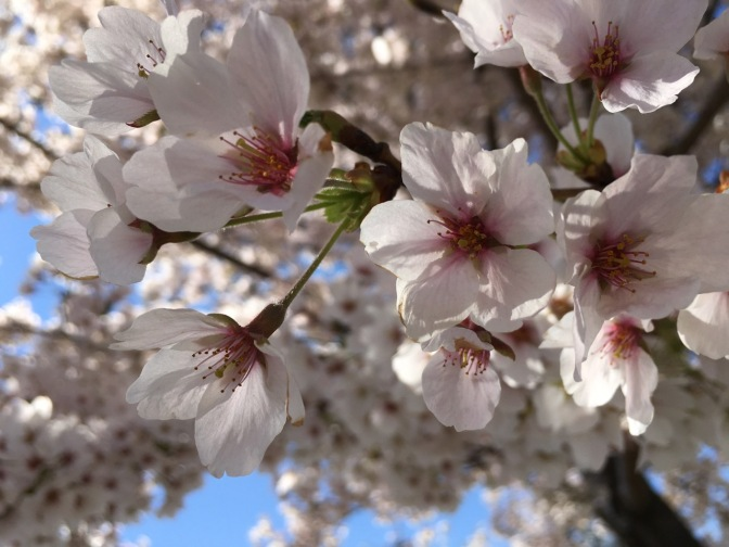 Close-up of cherry blossoms on branch.