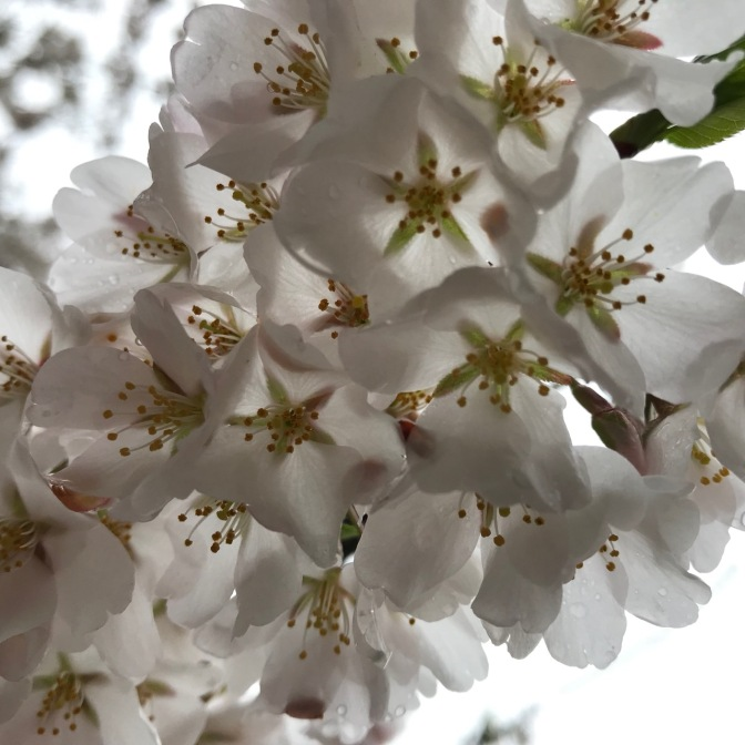 Closeup of white and green cherry blossoms.