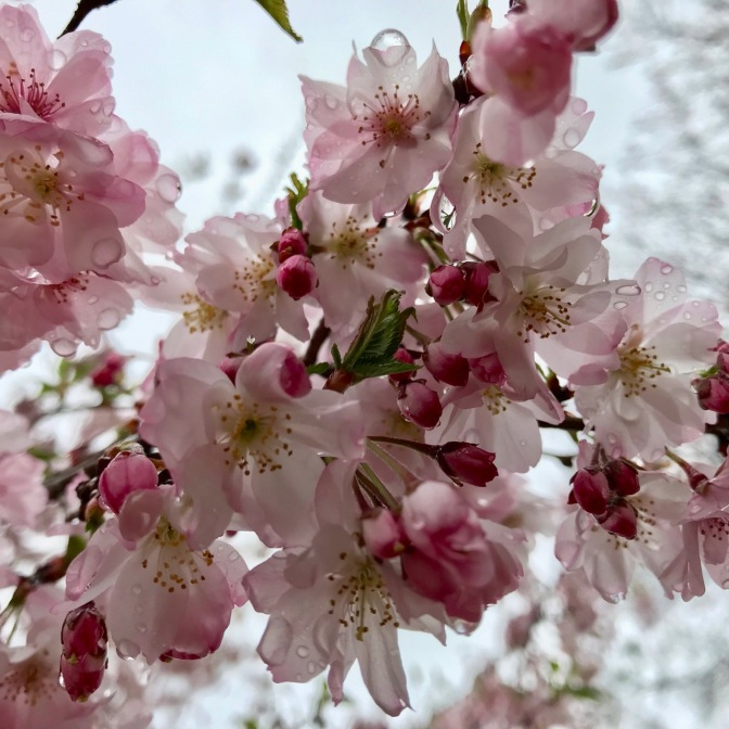 Close-up of pink and white cherry blossoms.