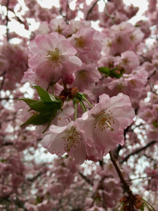 Closeup of pink and green cherry blossoms.