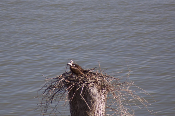 Two ospreys in a nest beside the river.