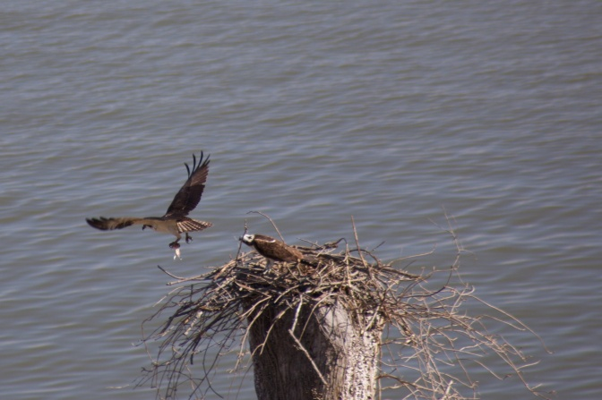 Osprey flying with fish toward nest while other waits.