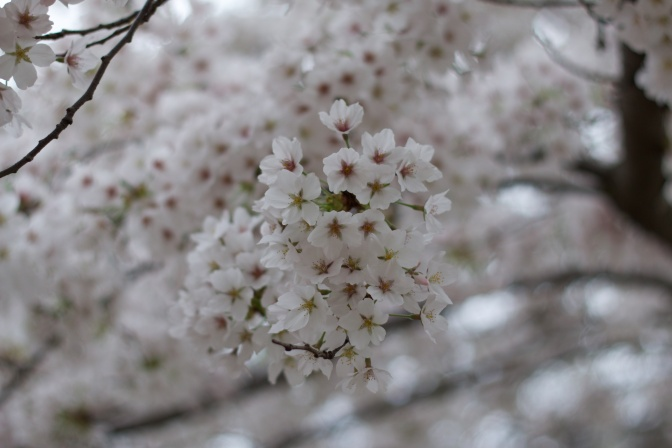 Close-up of white and green cherry blossoms.