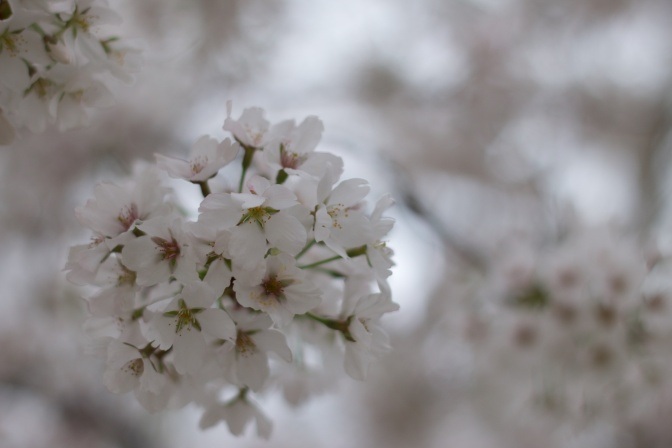 White and green cherry blossoms.