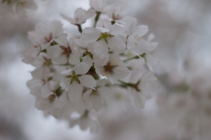 White and green cherry blossom flowers.