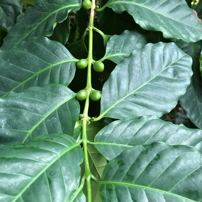 Coffee plant with coffee beans growing from branches.