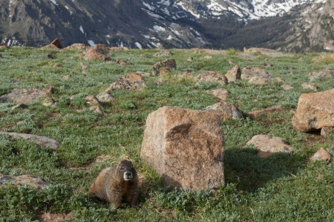 Yellow bellied marmot on rocky ground, with mountains in distance.