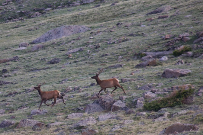 Elk, running down mountainside.