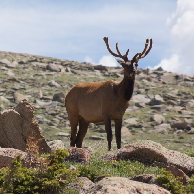 Elk, standing on rocky outcropping.