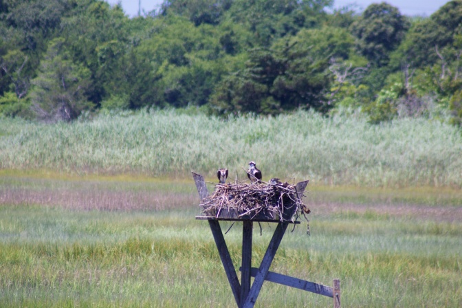 Ospreys in nest with meadow and trees in background.