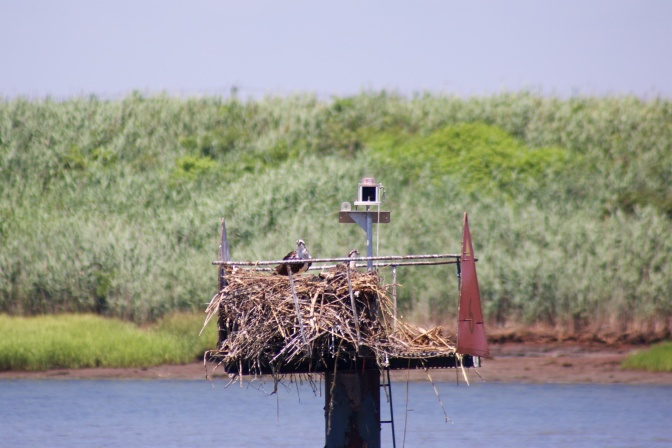Osprey in nest on small platform. Meadow is in background.