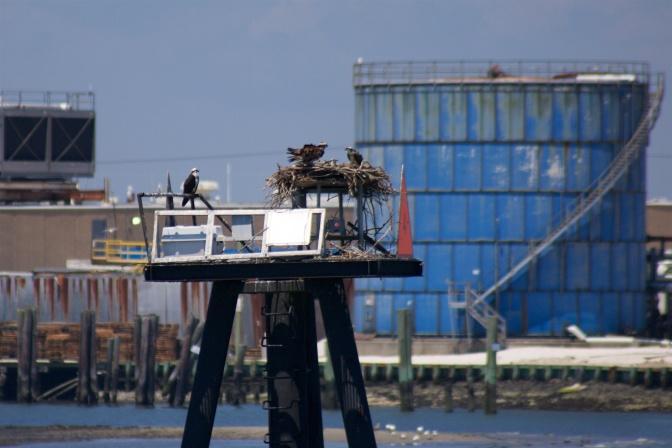 Three osprey nesting on small platform, with storage tanks in background.
