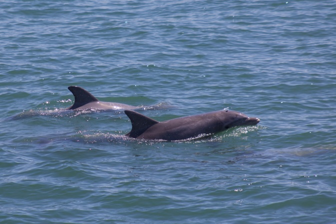Two bottlenose dolphins, with one broaching the surface.