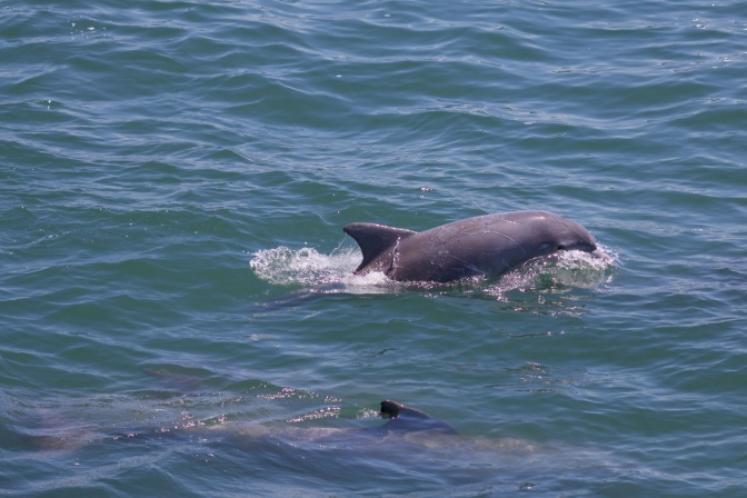 One dolphin broaching surface while another swims just beneath water.