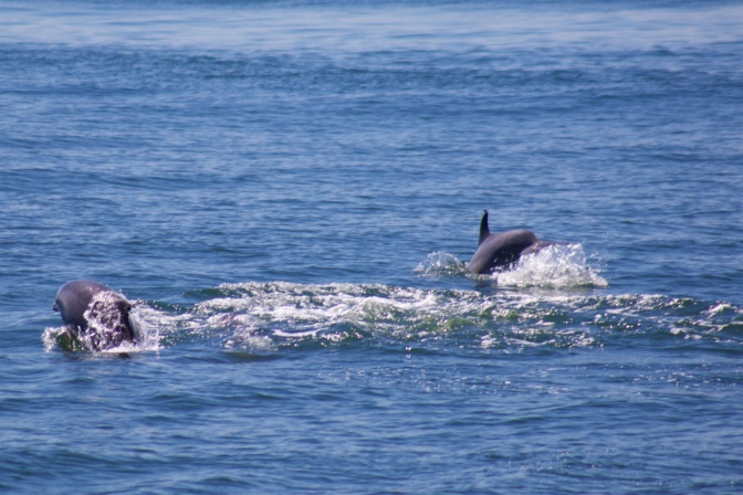 Two dolphins playing in the water.