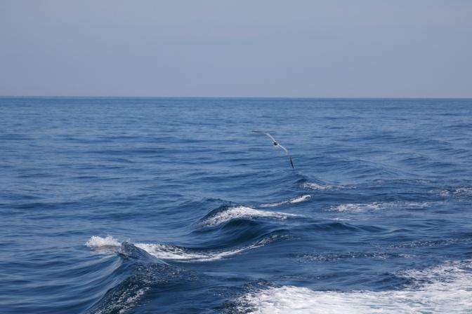 Sea gull following wake of ship.