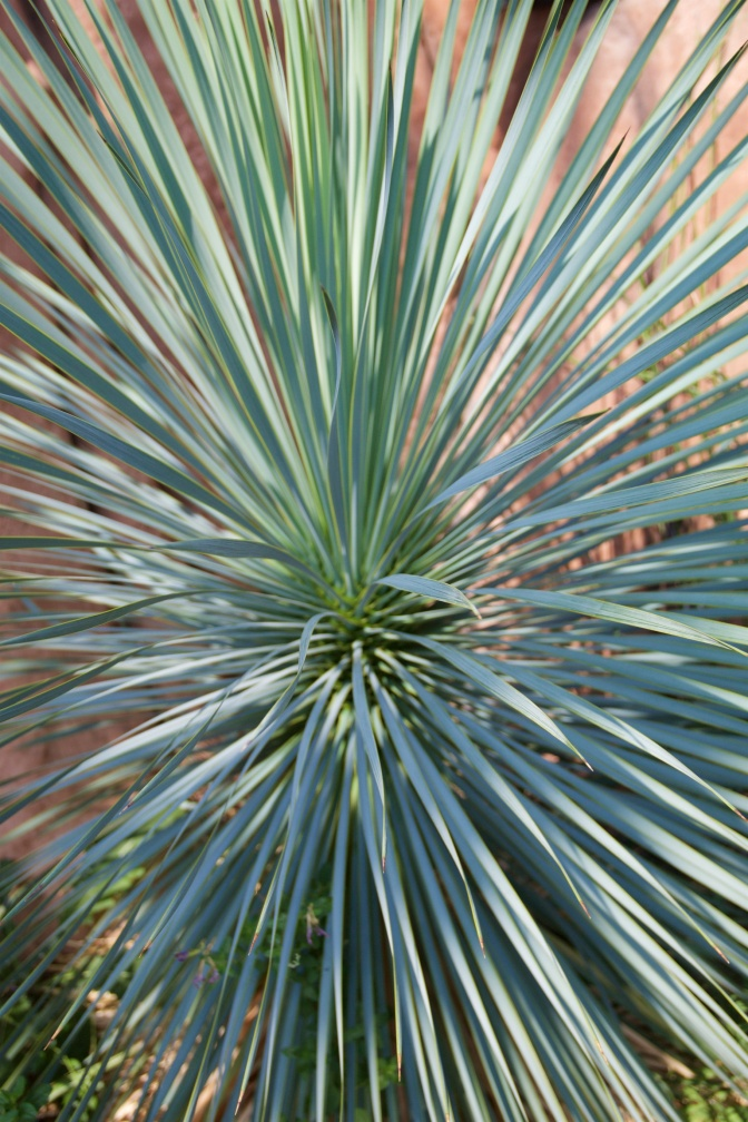 Close-up of Yucca plant.