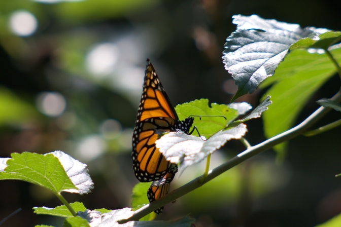 Monarch butterfly on a tree branch.