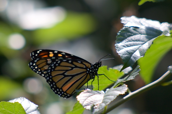 Monarch butterfly on tree branch.