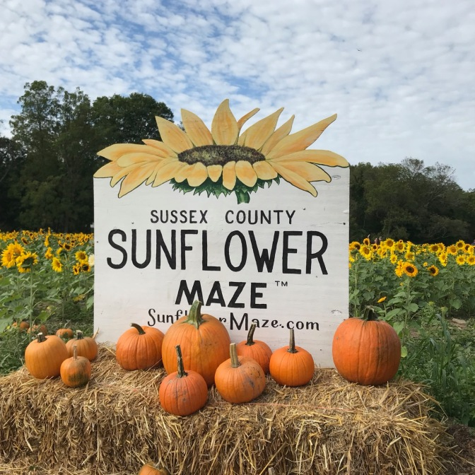 Sign on bale of hay that says SUSSEX COUNTY SUNFLOWER MAZE, with sunflowers in background and pumpkins in foreground.