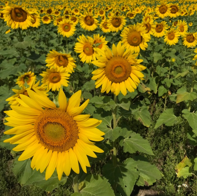 Photo filled with sunflowers.