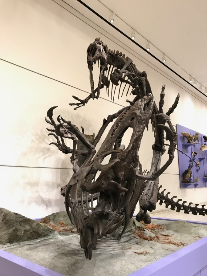 Two skeletons of Dryptosaurus aquilunguis, posed that one is attacking the other.