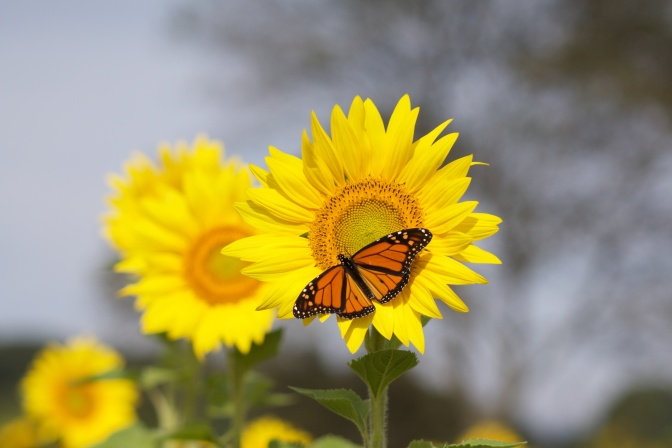 Monarch butterfly on sunflower.