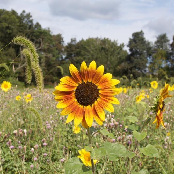Reddish-yellow sunflower in field.